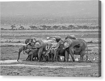 Amboseli Ellies Canvas Print