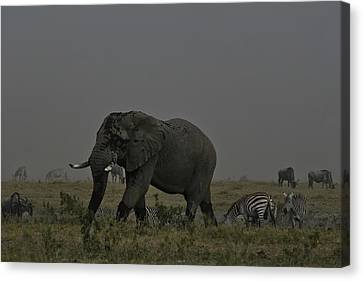 Canvas Print featuring the photograph Amboseli Giant by Gary Hall