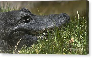 Canvas Print featuring the photograph American Alligator Closeup by David Millenheft