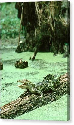 American Alligator Canvas Print by Gregory G. Dimijian, M.D.