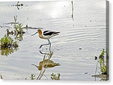 American Avocet Feeding Canvas Print