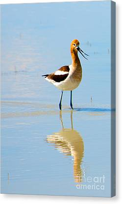 Canvas Print featuring the photograph American Avocet by Vinnie Oakes