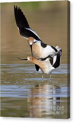 American Avocets Canvas Print