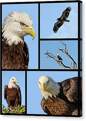 Print On Canvas Print - American Bald Eagle Collage by Dawn Currie
