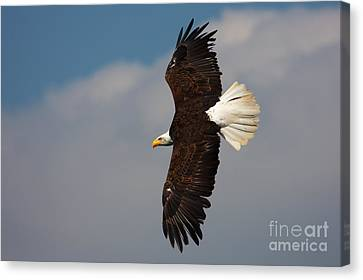 Canvas Print featuring the photograph American Bald Eagle In Flight by Nick  Biemans