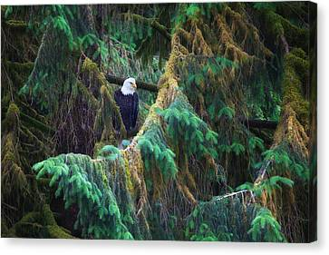 American Bald Eagle In The Pines Canvas Print