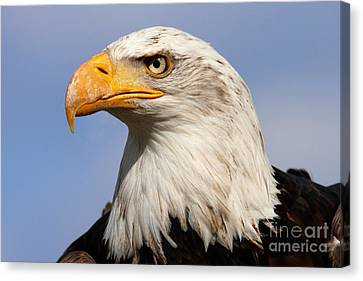 Canvas Print featuring the photograph American Bald Eagle by Nick  Biemans