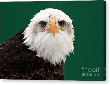 American Bald Eagle On The Look Out Canvas Print by Inspired Nature Photography Fine Art Photography