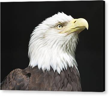 American Bald Eagle Profile Canvas Print