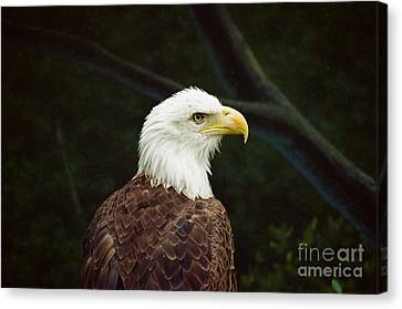 American Bald Eagle Canvas Print by Vinnie Oakes