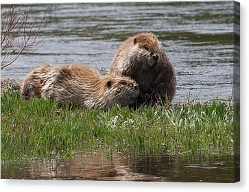 Beaver Canvas Print - American Beaver Pair by Ken Archer