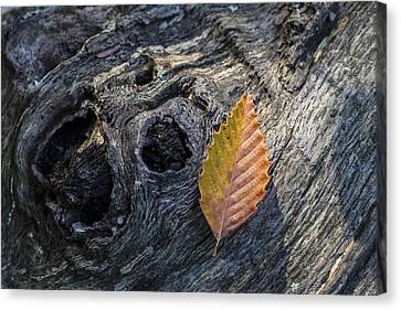 Canvas Print featuring the photograph American Beech Leaf by Andrew Pacheco