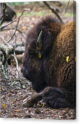 american Bison Canvas Print by Chris Flees