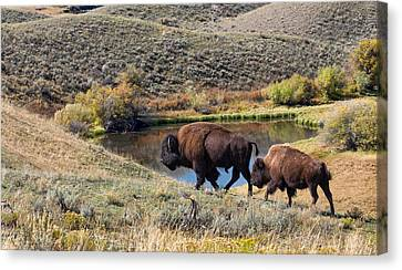 Earth Tones Canvas Print - American Bison Couple At Home On The Range by Kathleen Bishop