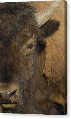 American Bison  Male Wyoming Canvas Print by Pete Oxford