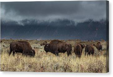 American Bison On The Prairie Canvas Print