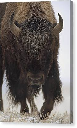 American Bison Portrait Canvas Print by Tim Fitzharris
