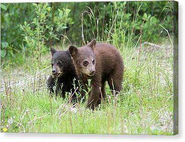 American Black Bear Cubs Canvas Print