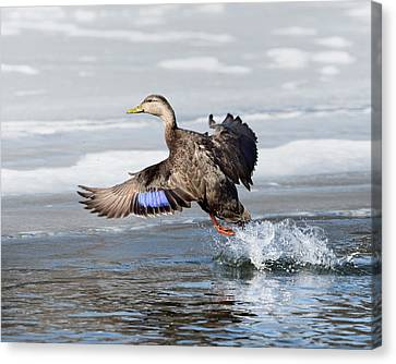 American Black Duck Canvas Print by Bill Wakeley