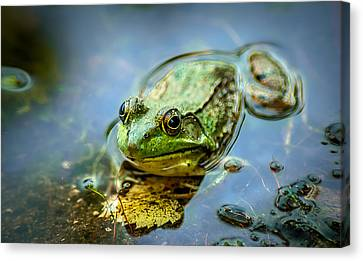 American Bull Frog Canvas Print