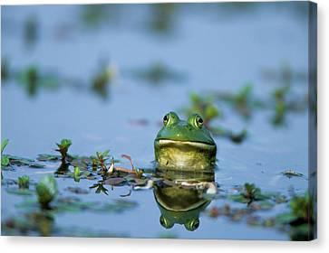 American Bullfrog (rana Catesbeiana Canvas Print