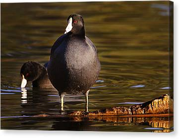 Canvas Print featuring the photograph American Coot  by Brian Cross