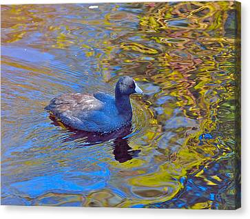 American Coot Canvas Print by Kathy King