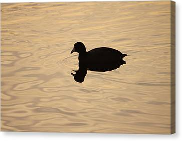 American Coot Silhouette Canvas Print