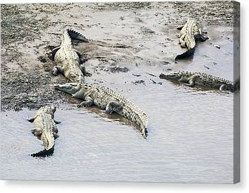 American Crocodiles (crocodylus Acutus) Canvas Print by Photostock-israel