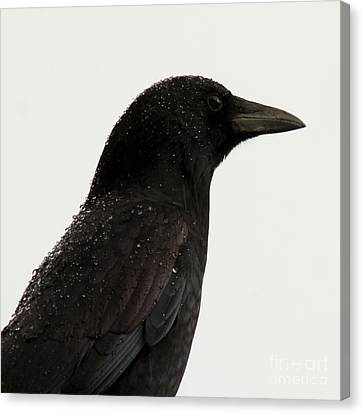 American Crow - Black On White Canvas Print