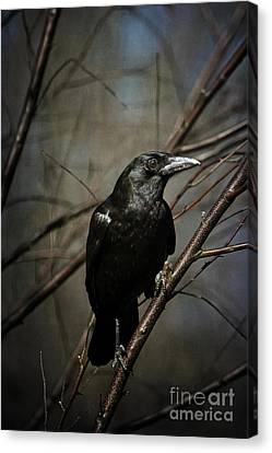 American Crow Canvas Print by Lois Bryan