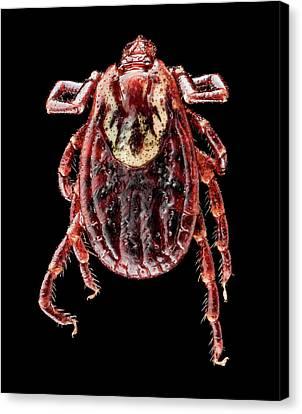 Arachnida Canvas Print - American Dog Tick by Us Geological Survey