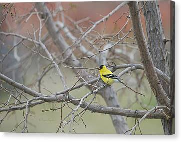 American Goldfinch 1 Canvas Print