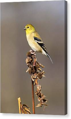 American Goldfinch 9 Canvas Print by David Lester