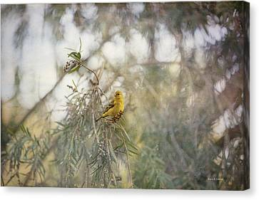 American Goldfinch In Winter Plumage Canvas Print by Angela A Stanton
