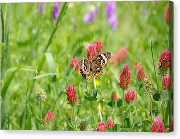 American Lady Butterfly Canvas Print by Mitch Wessels