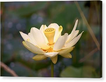 American Lotus Canvas Print by B Wayne Mullins