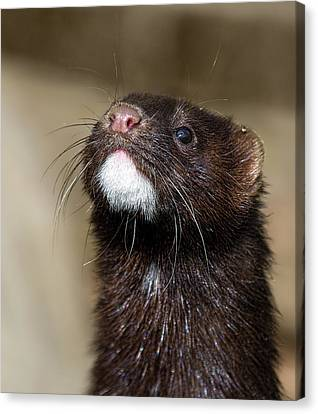 American Mink In The Uk Canvas Print by Mr Bennett Kent