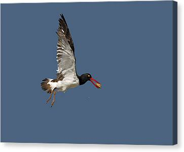 American Oystercatcher In Flight Canvas Print by Susan Candelario