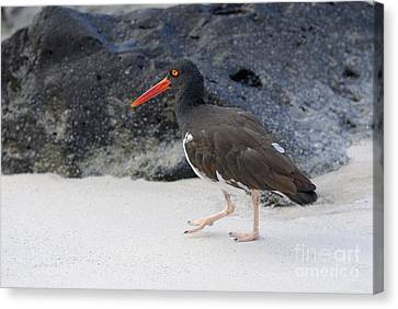 American Oystercatcher Looking For Food On Beach Canvas Print by Sami Sarkis