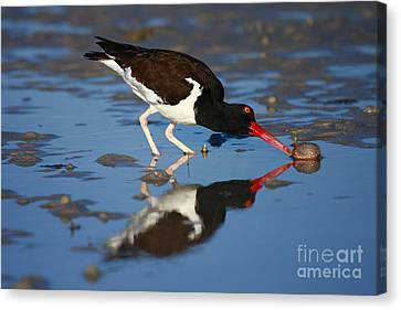 Canvas Print featuring the photograph American Oystercatcher Mirror by John F Tsumas