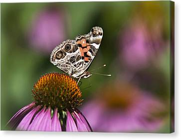 American Painted Lady Butterfly Canvas Print by Christina Rollo