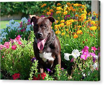 American Pit Bull In Flowers (mr Canvas Print
