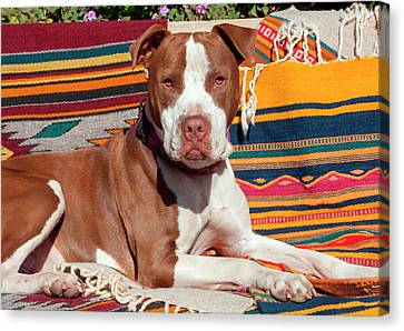 American Pit Bull Lying On Blankets (mr Canvas Print