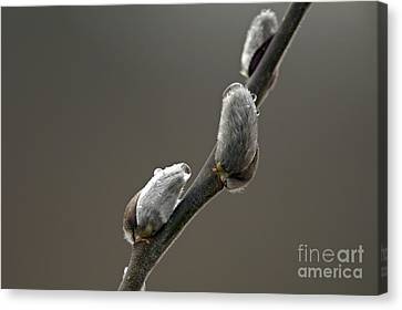 American Pussy Willow Canvas Print