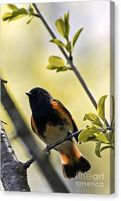 American Redstarts Canvas Print - American Redstart by Natural Focal Point Photography