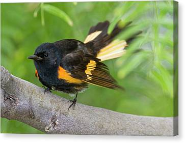 American Redstarts Canvas Print - American Redstart (setophaga Ruticilla by Larry Ditto