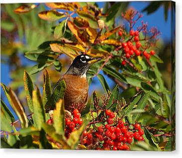 American Robin Canvas Print by James Peterson