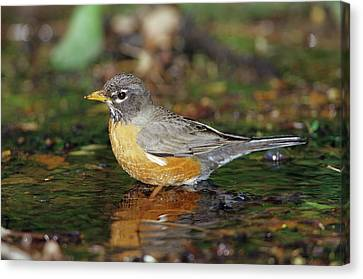 American Robin (turdis Migratorius Canvas Print by Richard and Susan Day