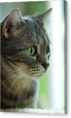 American Shorthair Cat Profile Canvas Print by Amy Cicconi